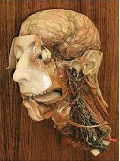 Was anatomical model of the head