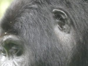 The ear of an adult mountain gorilla is shown, looking similar to a human ear